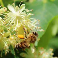 Novo u ljekarnama; Radovan Petrović – Terapija i kozmetika na bazi domaćeg meda